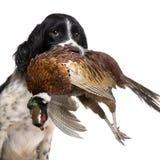 1英国狩猎西班牙猎狗蹦跳的人年 免版税图库摄影
