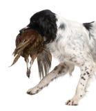 1英国西班牙猎狗蹦跳的人年 免版税库存图片