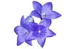 1蓝色开花grandiflorus platycodon 免版税库存照片