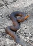 1蛇蝎 免版税库存图片