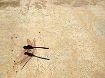 1蜻蜓grunge 免版税库存照片