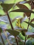 1螳螂 库存照片