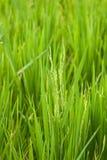 1谷物米 免版税库存照片