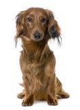 1达克斯猎犬前老坐的查阅年 图库摄影