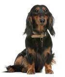 1达克斯猎犬老坐的年 免版税库存照片