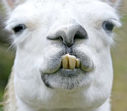 1骆马 免版税库存照片