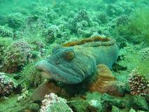 1鳗鱼噘嘴 免版税图库摄影