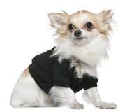 1黑色奇瓦瓦狗穿戴的老坐的年 库存图片
