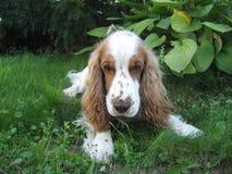 1,一条亲切的狗公爵 免版税库存照片