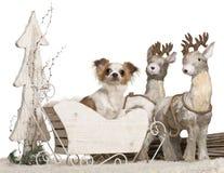 1 år för sleigh för chihuahuajul gammala Royaltyfria Foton