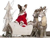 1 år för sleigh för chihuahuajul gammala Fotografering för Bildbyråer