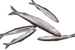 1 éperlan de poissons Photos stock