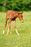 1 άλογο ημέρας μωρών Στοκ Εικόνα