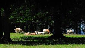 1 αγελάδες αριθ. Στοκ Εικόνες