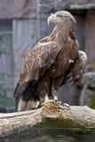 1 αετός παρακολούθησε το λευκό Στοκ φωτογραφία με δικαίωμα ελεύθερης χρήσης
