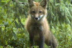 1 αλεπού Στοκ Φωτογραφία