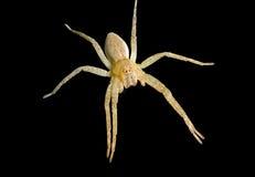 1 αράχνη pisauridae Στοκ φωτογραφία με δικαίωμα ελεύθερης χρήσης