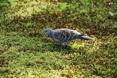 1 ασιατικό turtledove της Ιαπωνίας Στοκ Φωτογραφία