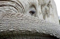 1 αφρικανικός ελέφαντας Στοκ φωτογραφία με δικαίωμα ελεύθερης χρήσης