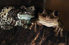 1 βάτραχοι δύο Στοκ Εικόνα