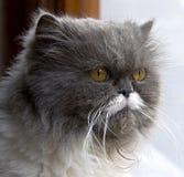 1 γάτα περσική Στοκ εικόνα με δικαίωμα ελεύθερης χρήσης