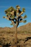 1 δέντρο joshua Στοκ φωτογραφία με δικαίωμα ελεύθερης χρήσης