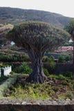 1 δράκος χίλια έτος δέντρων Στοκ εικόνα με δικαίωμα ελεύθερης χρήσης