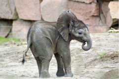 1 ελέφαντας μωρών Στοκ Φωτογραφίες