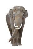 1 ελέφαντας Στοκ Φωτογραφίες