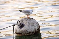 1 θάλασσα γλάρων Στοκ Εικόνες
