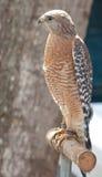 1 θήραμα πουλιών Στοκ φωτογραφίες με δικαίωμα ελεύθερης χρήσης