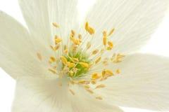 1 κεντρικό λουλούδι anemone Στοκ Εικόνες