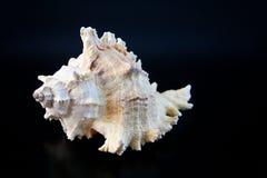 1 κοχύλι θάλασσας Στοκ εικόνες με δικαίωμα ελεύθερης χρήσης