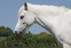1 λευκό αλόγων Στοκ Εικόνες