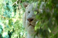1 λευκό λιονταριών στοκ φωτογραφία με δικαίωμα ελεύθερης χρήσης