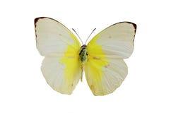 1 λευκό πεταλούδων Στοκ φωτογραφία με δικαίωμα ελεύθερης χρήσης