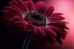 1 λουλούδι σύνθεσης μωβ Στοκ Φωτογραφίες