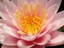 1 λωτός λουλουδιών Στοκ Εικόνες