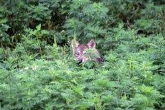1 λύκος κουταβιών Στοκ Εικόνες