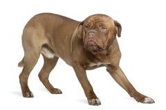 1 μισά παλαιά έτη του Μπορντώ de dog Στοκ Εικόνες