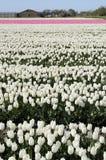 1 ολλανδικό tuilp λευκό πεδίων Στοκ Φωτογραφίες