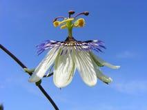1 πάθος λουλουδιών Στοκ εικόνες με δικαίωμα ελεύθερης χρήσης