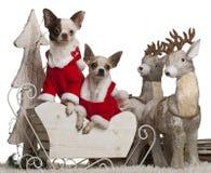 1 παλαιό έτος ελκήθρων Χριστουγέννων chihuahuas Στοκ Φωτογραφία