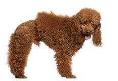 1 παλαιό poodle μόνιμο έτος Στοκ Εικόνα