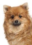 1 παλαιό spitz σκυλιών έτος Στοκ εικόνα με δικαίωμα ελεύθερης χρήσης