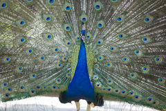 1 παρουσίαση peacock Στοκ εικόνα με δικαίωμα ελεύθερης χρήσης