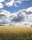 1 πεδίο καλαμποκιού Στοκ εικόνα με δικαίωμα ελεύθερης χρήσης