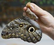1 πεταλούδα τροπική Στοκ φωτογραφίες με δικαίωμα ελεύθερης χρήσης