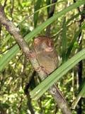 1 πιό tarsier Στοκ Εικόνες