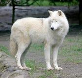 1 πολικός λύκος Στοκ φωτογραφίες με δικαίωμα ελεύθερης χρήσης